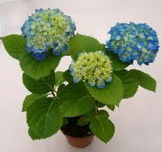 комнатный цветок фото гортензия