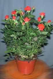 Комнатная роза комнатные растения